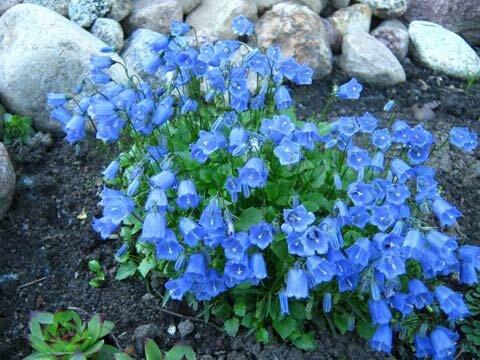 Колокольчик изящный цветок