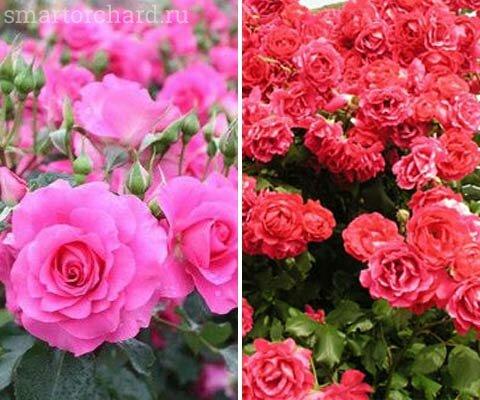 Розы цветут все лето