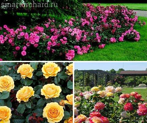 Розы на клумбе