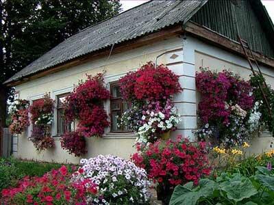 петуния в качестве украшения дачного домика