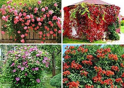 неприхотливые вьющиеся цветы