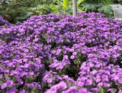многолетний цветок для сибири