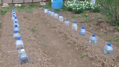 выращивание огурцов в бутылке