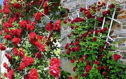 опора для красных плетистых роз