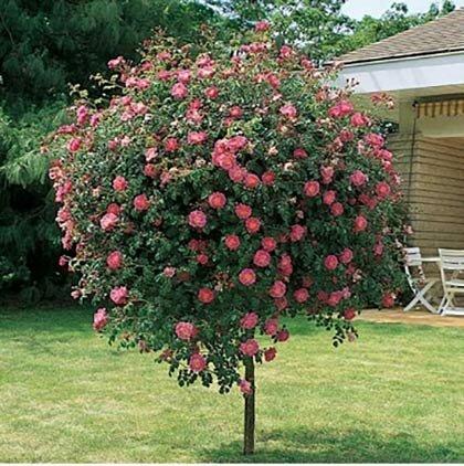 столбы для красных плетистых роз