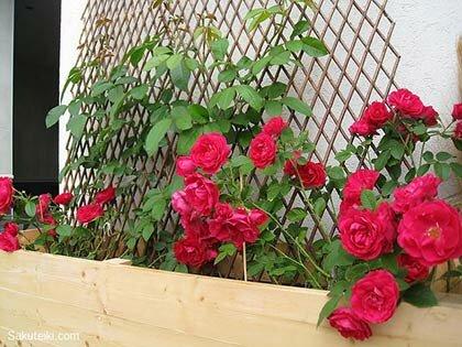 плетистой розе необходимо помочь виться по опоре